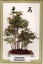 Japanese Hornbeam Seeds