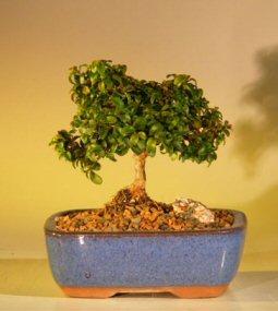 "Japanese Kingsville Boxwood Bonsai Tree - Small Buxus Microphylla ""Compacta"""