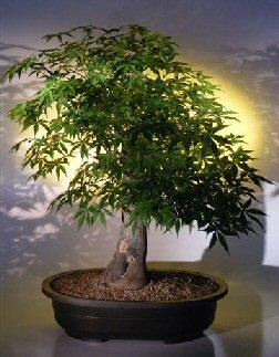 Japanese Maple Bonsai Tree (acer palmatum)