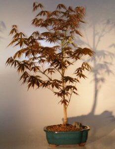 "Japanese Red Maple Bonsai Tree - Large (Acer Palmatum ""Atropurpurea"")"