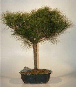 Japanese Red Pine Bonsai Tree (pinus resinosa 'quinobequin')