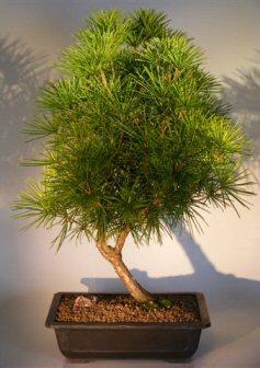 "Japanese Umbrella Pine - 23"" x 20"" x 33"" (sciadopitys verticillata)"