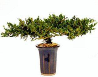 "Juniper Bonsai Tree - 8"" - Preserved Bonsai Tree"