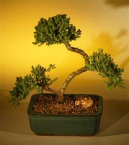 Juniper Bonsai Tree - Curved Trunk (juniper procumbens nana)