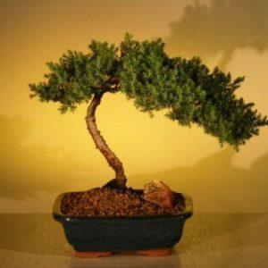 Juniper Bonsai Tree - Juniper Senior (juniper procumbens nana)