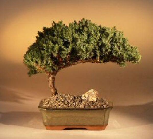 """Juniper Bonsai Tree - Medium Juniper Procumbens """"nana"""""""