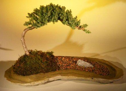 "Juniper Bonsai Tree Planted on a Rock Slab (juniper procumbens ""nana"")"