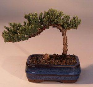 "Juniper Bonsai Tree-Small (Juniper Procumbens ""nana"")"