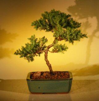 Juniper Bonsai Tree - Trained (juniper procumbens nana)