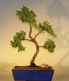 Juniper Bonsai Tree (juniper procumbens 'nana'
