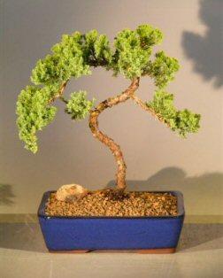 Juniper Bonsai Tree (juniper procumbens 'nana')