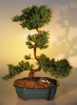 Juniper Bonsai Tree (juniper procumbens nana)