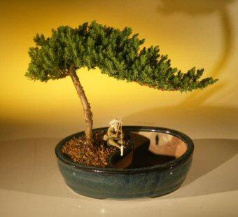 """Juniper Bonsai Tree/Water Bonsai Pot - Medium (juniper procumbens """"nana"""")"""