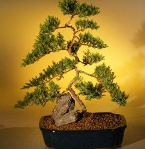 "Juniper Karate Kid Bonsai Tree - Extra Large (juniper procumbens ""nana"")"