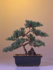 "Juniper ""Karate Kid"" Bonsai Tree - Large (Juniper Procumbens ""nana"")"