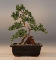 """Juniper """"Karate Kid"""" Bonsai Tree - Medium (Juniper Procumbens """"nana"""")"""