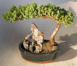 """Juniper-Stone Landscape Scene (Juniper Procumbens """"nana"""")"""