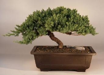 Juniper Windswept - Extra Large (juniper procumbens 'nana')