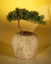 """Juniper in a Lava Rock (Juniper Procumbens """"nana"""")"""