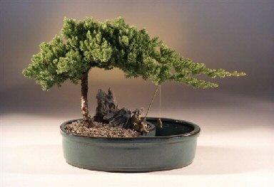 """Juniper in a Water Bonsai Pot - Large (juniper procumbens """"nana"""")"""