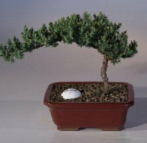 "Juniper with Fairway Golf Ball (Juniper Procumbens ""nana"")"