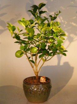 Key Lime Bonsai Tree (citrus aurantifolia)