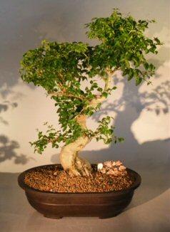Ligustrum Bonsai Tree (ligustrum lucidum)