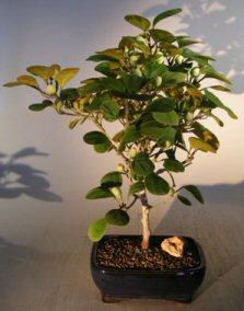 Mistletoe Fig Bonsai Tree (ficus diversifolia)