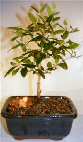 "Olive Bonsai Tree (olea europaea ""little ollie"")"