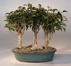 Oriental Ficus Bonsai - 3 Tree Group (ficus benjamina 'orientalis')