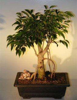 Oriental Ficus Bonsai Tree - Banyan Style (benjamina 'orientalis')
