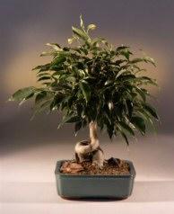 Oriental Ficus Bonsai Tree (Coiled Trunk) - Large (benjamina 'orientalis')