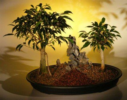 Oriental Ficus Bonsai Tree - Double Planting with Rock Landscape (ficus benjamina 'orientalis')