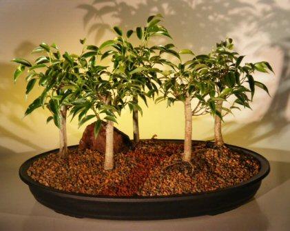 Oriental Ficus Bonsai Tree Five (5) Tree Forest Group (benjamina 'orientalis')