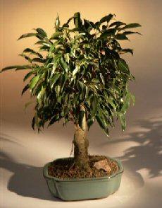 Oriental Ficus Bonsai Tree - Large Size (ficus benjamina 'orientalis')