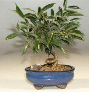 Oriental Ficus Coiled Bonsai Tree - Small (ficus benjamina 'orientalis')