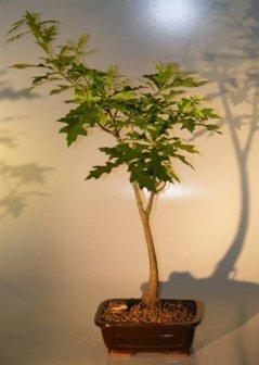 Pin Oak Bonsai Tree ('quercus palustris')