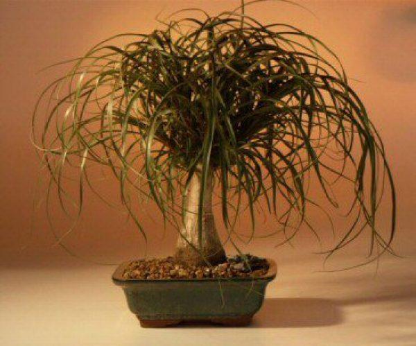 Ponytail Palm - Large (Beaucamea Recurvata)