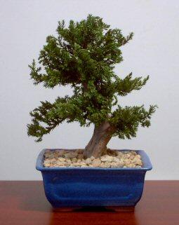 Preserved Juniper Bonsai Tree - Upright Style
