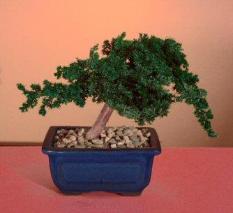 Preserved Juniper Bonsai Tree - Windswept Style