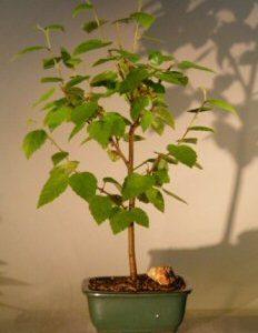 River Birch Bonsai Tree (betula nigra)