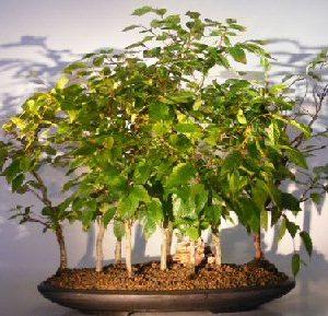 Rock Hornbeam Bonsai Tree (carpinus turczaninovii)