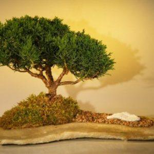 Shimpaku Juniper Bonsai Tree Planted on a Rock Slab (juniperus chinensis)