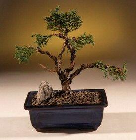 Shimpaku Juniper Bonsai Tree - Trained (juniper chinensis)