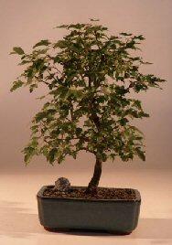 Trident Maple Bonsai Tree (Acer Buergerianum)