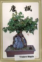 Trident Maple Seeds