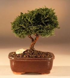 Tsukomo Cypress Bonsai Tree (chamaecyparis pisifera tsukomo)