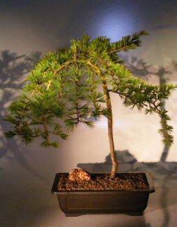 Weeping Hemlock Bonsai Tree (heterophylla thorsen)
