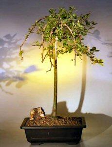 Weeping Pussy Willow Bonsai Tree (salix caprea 'kilmarnock')