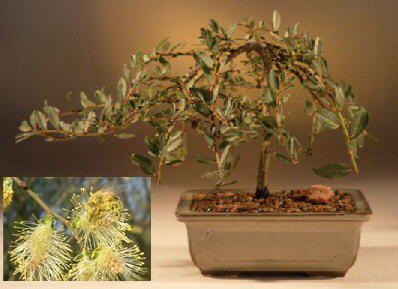 Weeping Willow Bonsai Tree (salix repens 'boyd's pendula')